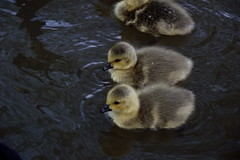 Baby Geese in the Trent and Mersey Canal Westport Lake (Matt Burke) Tags: lake westport
