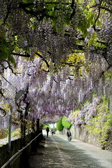 wisteria tunnel (overthemoon) Tags: flowers people schweiz switzerland spring shadows purple suisse path utata svizzera cobbles wisteria vevey vaud glycines romandie thursdaywalk chemindelesprance utata:project=tw369