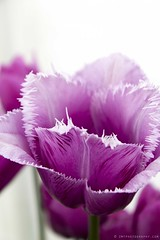 Tulipa 'Blue Heron' (Zo0Bear) Tags: blue white flower heron floral season botanical photography spring flora purple background grow violet lavender fringe fresh lilac tulip april fringed delicate springtime zmt
