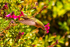 Hover Beats (sbisson) Tags: california green birds garden spring wings feeding wildlife small beak feathers sanjose fast tiny nectar iridescent hummingbirds beating hover