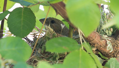Nesting House Finch (Simha K.) Tags: housefinch