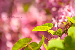 Istanbul's Spring... (Kuzeytac) Tags: pink light plant flower color detail macro tree green nature floral beautiful beauty closeup turkey season daylight leaf spring stem flora colorful pretty branch natural bright blossom outdoor vibrant background seasonal young magenta fuchsia vivid sunny istanbul fresh petal foliage growth fragrant bloom environment bud copyspace elegant eastern 90 judas flourish bosphorous cercis emirgan siliquastrum