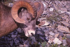 IMG_0038 (Rock Rabbit Photo) Tags: scans sheep horns bighorn rams slides