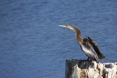 05.20.13 (colemama) Tags: bird pointed anhinga 2013365 dailyphoto13