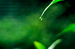 Leaf & Raindrop .. ( Nana) Tags: life light plant green leaf natural taiwan  simple raindrop taiwan