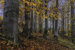 beech forest in Czech Republic (John Herm1) Tags: autumn forest czech czechrepublic slope beech beechforest