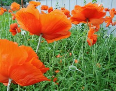 poppies 041 (cellocarrots) Tags: poppies