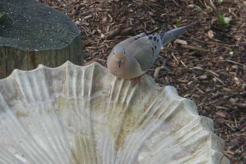 Dove at the Bird Bath (Saline, Michigan)