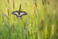 Schwalbenschwanz (Papilio machaon)_Q22A6924 (Bluesfreak) Tags: insekten schmetterling schwalbenschwanz nsg papiliomachaon grohberg