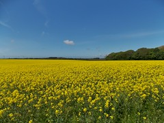 Rapeseed Fields near Stainings, Lancashire, England - May 2013
