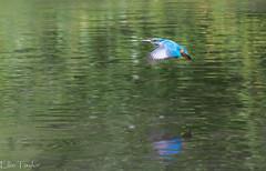 Kingfisher in flight (ellie.taylor30) Tags: nikonnaturephotography nikon nature flickrnature sigma150600 sigma rooksbury hampshire summer bird kingfisher