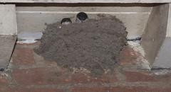 101-IMG_7815a (tjsphotobrigg) Tags: birds housemartins nest brigg lincolnshire wildlife england uk canon