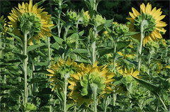 Sunflowers (ioensis) Tags: county saint rural mo missouri sunflowers fields farms ste genevieve jdl ioensis 44161cjohnlangholz2016