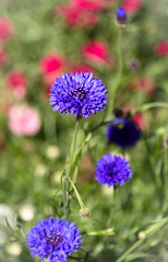 Cornflower Colour (Jocey K) Tags: christchurch newzealand flower spring cornflowers