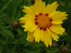 Yellow flower<>Fleur jaune. (France-) Tags: 47 fleur jaune flower nature coreopsis tickseed