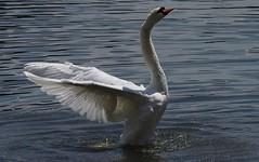IMGP8622 (CatseyeGomez) Tags: reno nevada virginia lake bird swan