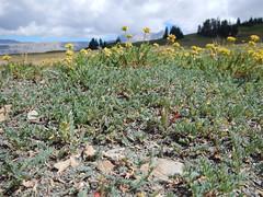 Astragalus shultziorum (with Ivesia gordonii) (Matt Lavin) Tags: astragalusshultziorum fabaceae schultzsmilkvetch grandtetonnationalpark wyoming subalpine native perennial matforming herb