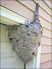 random find (Mycophagia) Tags: waspnest baldfacedhornet whitefacedhornet wasp hornet nest large