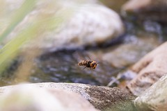 Bee Fly (zddeoo) Tags: bee insect fly flying 벌 꿀벌 곤충 canon zddeoo korea photo