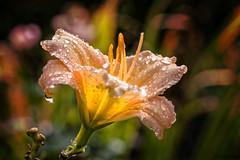 Taglilie (novofotoo) Tags: blumen blte botanischergarten hemerocallis liliengewchse lilium natur regentropfen reise taglilienkulturform