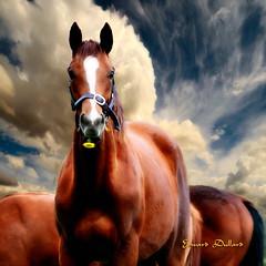 A beautiful Irish horse. (Edward Dullard Photography. Kilkenny, Ireland.) Tags: kilkenny ireland leinster europe eire horse animal oldpicturesofkilkenny oldphotographsofkilkenny oldkilkennyphotos edwarddullardphotographykilkennycityireland skyclouds nature equine irish