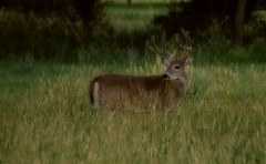 Out of The Woods (Nutzy402) Tags: deer buck nature animal woods wildlife