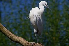 1312-40L (Lozarithm) Tags: owslebury hants marwell birds k50 55300 hdpda55300mmf458edwr aviaries herons egrets