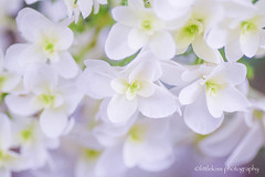Hydrangea-Celebration (littlekiss) Tags: hydrangea flower nature white celebration vandusenbotanicalgarden vancouver littlekissphotography