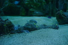 DSC05649 (TryKey) Tags: trykey isla 2016 cannon pennecamp park aquarium islamorada tang