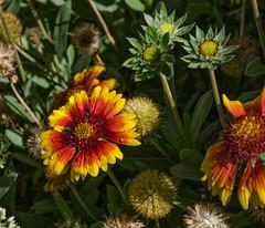 Painted Flowers.jpg (Herringbone2) Tags: multicolors midsummergardenflower latesummer waterdrops midmorning