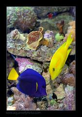 FRANxanthu-oliv1165_160612 (kactusficus) Tags: marine reef aquarium francis surgeonfish acantturidae tang chirurgien zebrasoma xanthurum blue redsea merrouge acanthurus olivaceus pastis