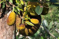 DSC_0175 (bob.speaking) Tags: jackfruit