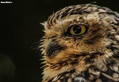 Athene cunicularia (Mauro Hilrio) Tags: nature bird prey avifauna animal portrait closeup zoomarine portugal eye feathers burrowing owl athene cunicularia