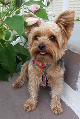 Nemo 07-21-16 (MelenaMe) Tags: canine dog pet animal nemo yorkiepoo yorkiepoodle doggie yorkie puppy flowers flower bud buds leaf leaves outdoor garden