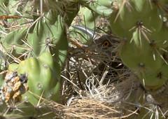 Cactress Fortress -- Curve-billed Thrasher (Toxostoma curvirostre); Sandia Heights, Albuquerque, NM [Lou Feltz] (deserttoad) Tags: bird wildbird nature desert songbird newmexico cactus behavior nest thrasher