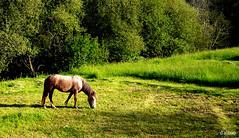 Verdes leiras (Franco DAlbao) Tags: francodalbao dalbao lumix caballo horse prado prairy verde green galicia gondomar romior valmior primavera spring