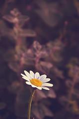 Token of Friendship (Mega.Shots) Tags: d90 nikon flower flora shallowdof