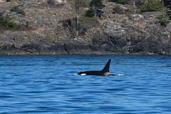 K-35 Sonata (Jennifer Stuber) Tags: seattle washington sanjuanislands sanjuan friday harbor orca killer whale orque killerwhale k35 sonata k35sonata