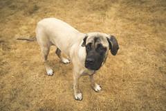 Isabelle (Sage Goulet (SAGO PHOTO)) Tags: englishmastiff mastiff sharpei mastiffandsharpei pei dogs animals mansbestfriends sagegoulet sagophoto sharpeiandmastiff