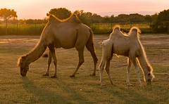 Bactrians at Dusk (john atte kiln) Tags: bactrians bactriancamels dusk sunset motherandbaby animals camels humps twohumps rare circus grazing chained field sunscape oranges hair sunthroughhair legs harnessed hooves fur sérignanplage sérignan france languedocroussillon outdoor barbedwire hocks visitingcircus