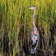 Great Heron & Marsh Grass (dianne_stankiewicz) Tags: greatblue marsh coastal bird heron