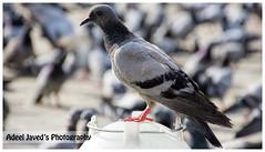 Pegion (Adeel Javed's Photography) Tags: adeel javed pegion makkah saudi arbia