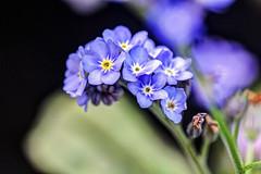 I FIORI COME LI VEDO IO.... (FRANCO600D) Tags: myosotis nontiscordardime macro fiorellini piantina fioreblu canon eos600d franco600d