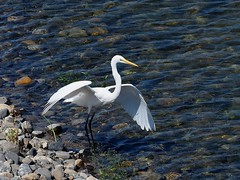 Great egret () (Greg Peterson in Japan) Tags: deba ritto egretsandherons rivers wildlife birds yasugawa japan shiga shigaprefecture jpn