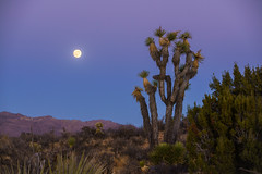 Moonrise Over Yucca Valley (tltichy) Tags: yuccavalley blue california desert fullmoon hidesert hillside joshuatree mojave moon moonrise outdoors pink socal southern southwest tree