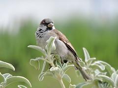 DSCN5862 (keepps) Tags: switzerland suisse schweiz summer vaud prangins chteaudeprangins garden animal bird finch