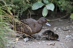 (Paul J's) Tags: wellington karori park ecosanctuary animal bird birds duck duckling brownteal pateke zealandia