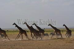 10076047 (wolfgangkaehler) Tags: 2016africa african eastafrica eastafrican kenya kenyan amboseli amboselikenya amboselinatlparkkenya amboselinationalpark wildlife mammal giraffe giraffes giraffacamelopardalistippelskirchi herd tower group burchellszebra burchellszebraequusquagga burchellszebras running galloping