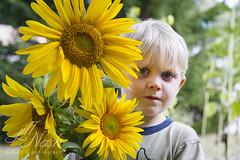 258/366 (grilljam) Tags: seamus 4yrs sunflowers freshcut fromouryard definitelygrowingwaymorenextsummer summer september2016 endofabeautifulseason 366days