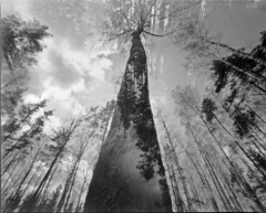 double thru the trees (matkovsmatko) Tags: pinhole trees istillshootfilm beliveinfilm hp5 bw blackandwhite 6x7 analouge doubleexposure caffenolstand homemade camera obscura